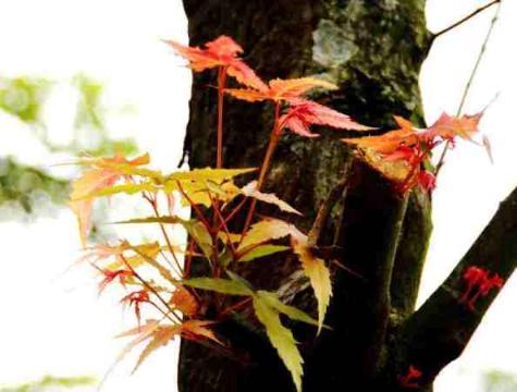 楓樹-嫩芽