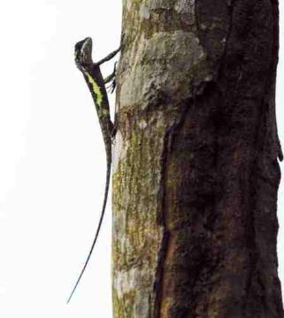 楓樹-蜥蜴