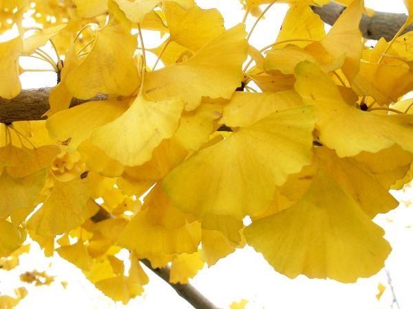 黄色色片子_银杏叶在秋季会变成金黄色,在秋季低角度阳光的照射下比较美观,常被