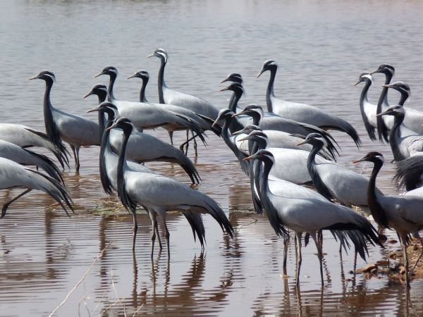 Demoiselle-cranes-keechan-India.jpg