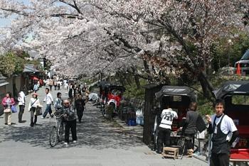 高台寺門前「寧寧之道」的櫻花